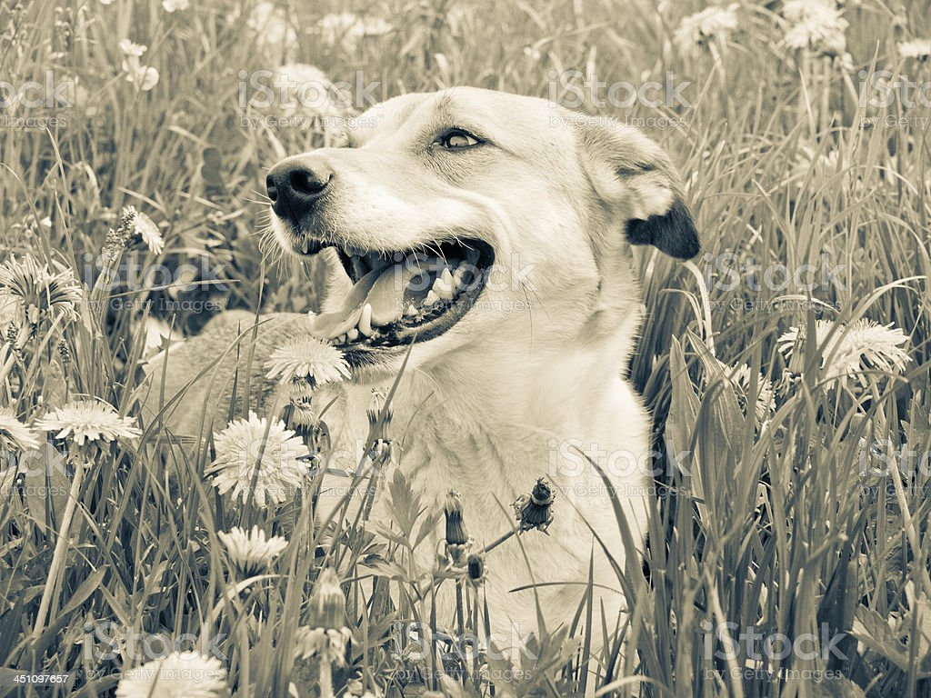 Dog in the dandelion meadow, stock photo