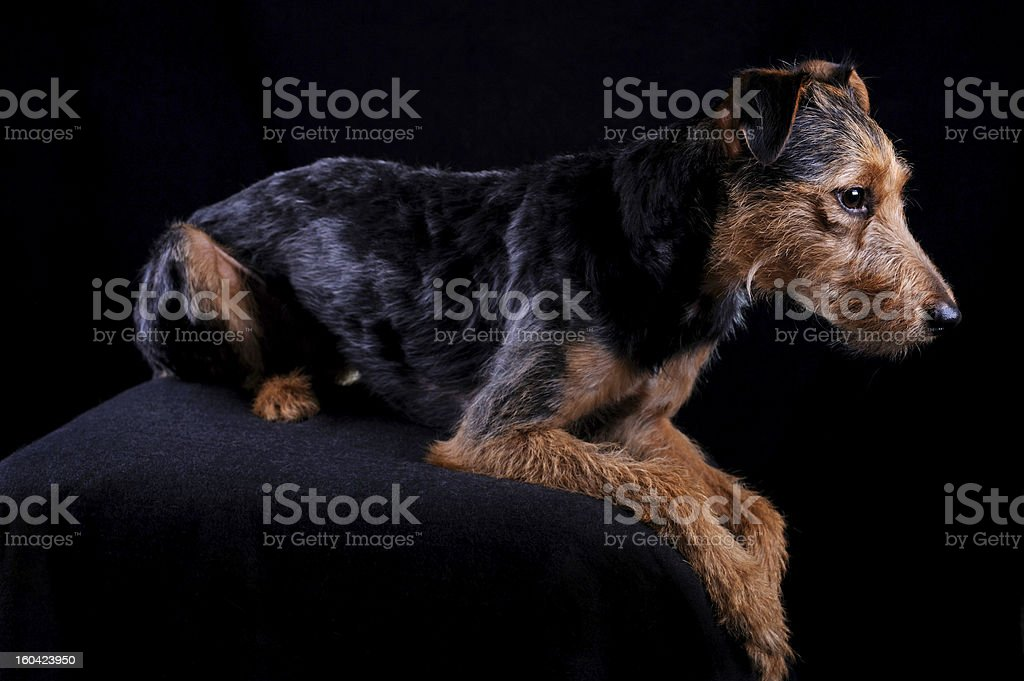 Dog in the dark royalty-free stock photo
