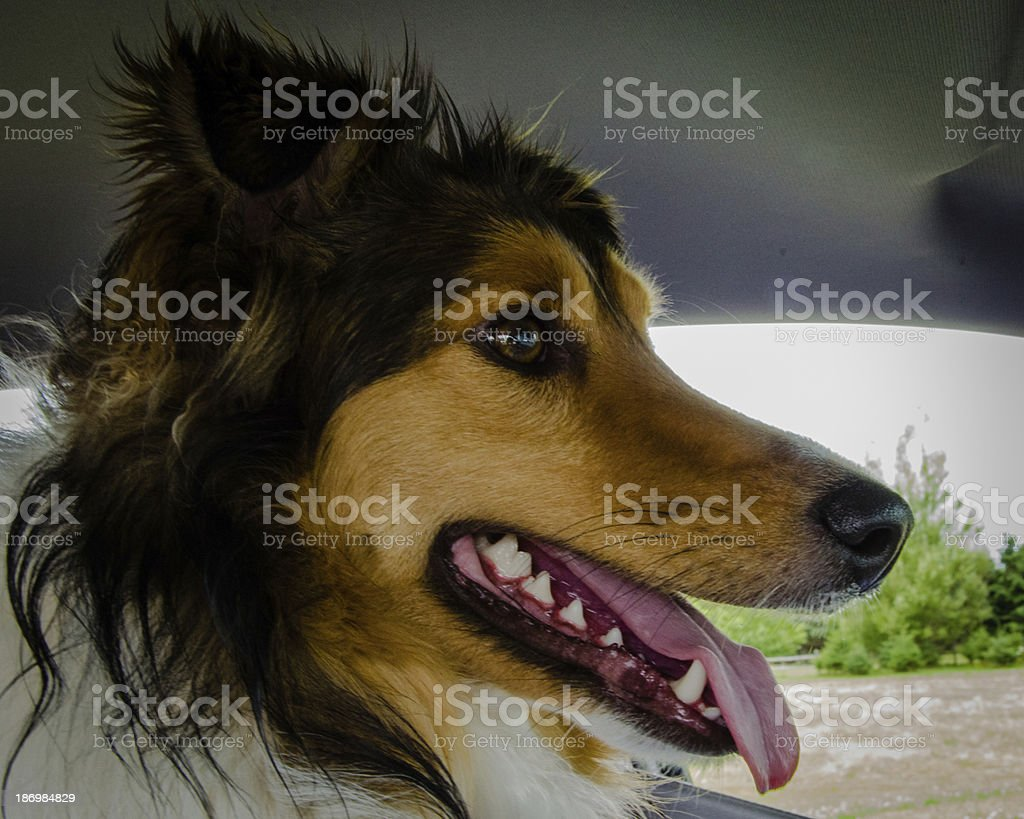 Dog in the Driver's Seat royalty-free stock photo