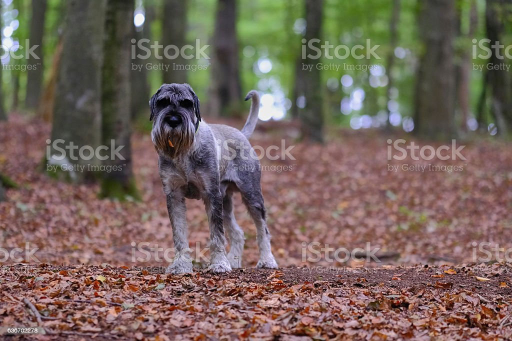 Dog in the forest stock photo