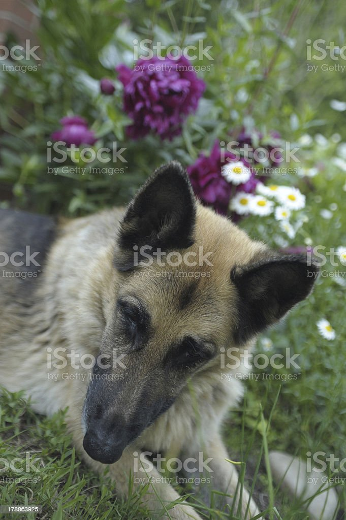 dog in the garden royalty-free stock photo