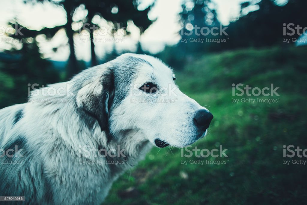 Dog in the mountains stock photo