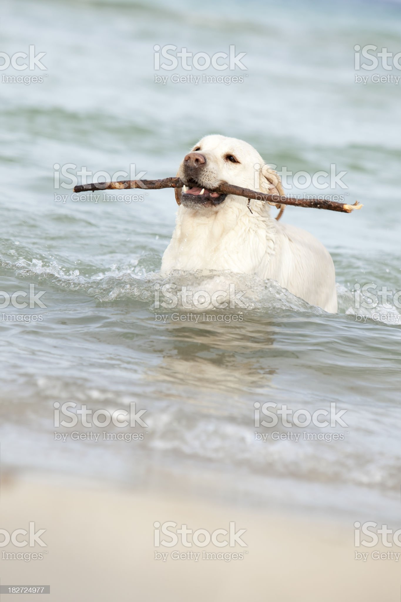 dog in the water royalty-free stock photo
