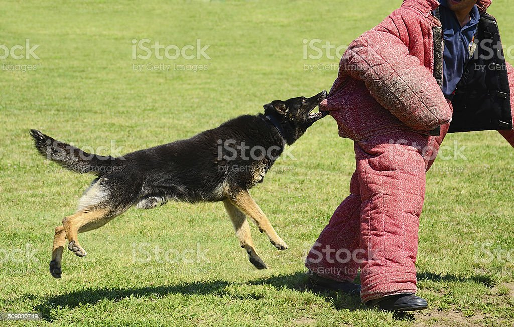 K9 dog in training, attack demonstration stock photo