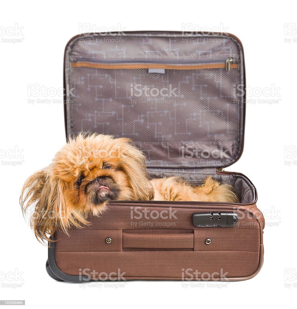 Dog in travel case royalty-free stock photo