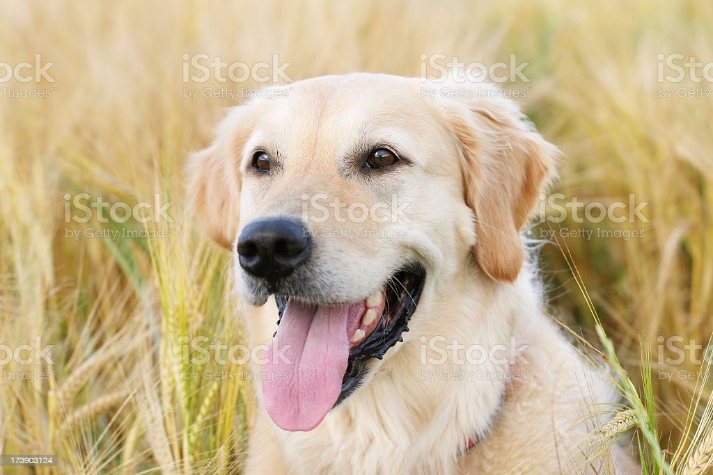 Dog in Wheat field royalty-free stock photo