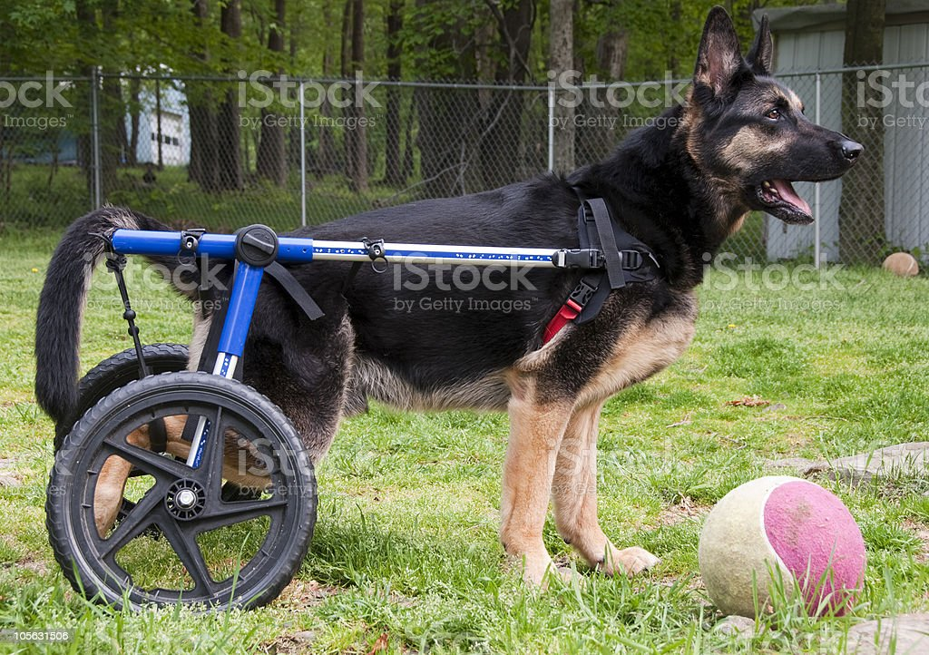 dog in wheelchair II royalty-free stock photo