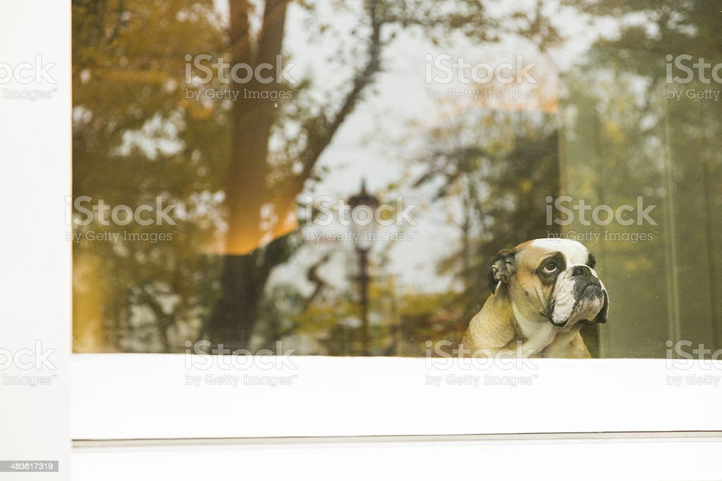 Dog in window stock photo