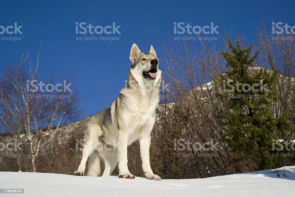 Dog in winter forest royalty-free stock photo