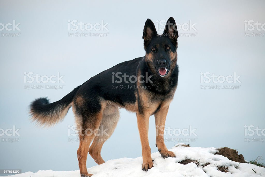 dog in winter have fun with snow stock photo