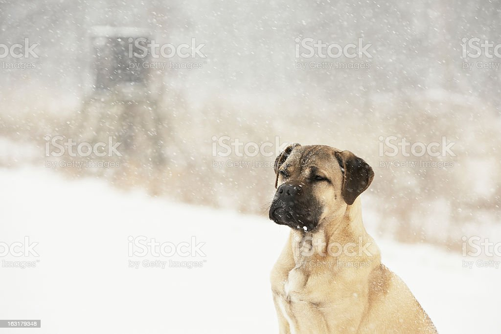 Dog in winter royalty-free stock photo