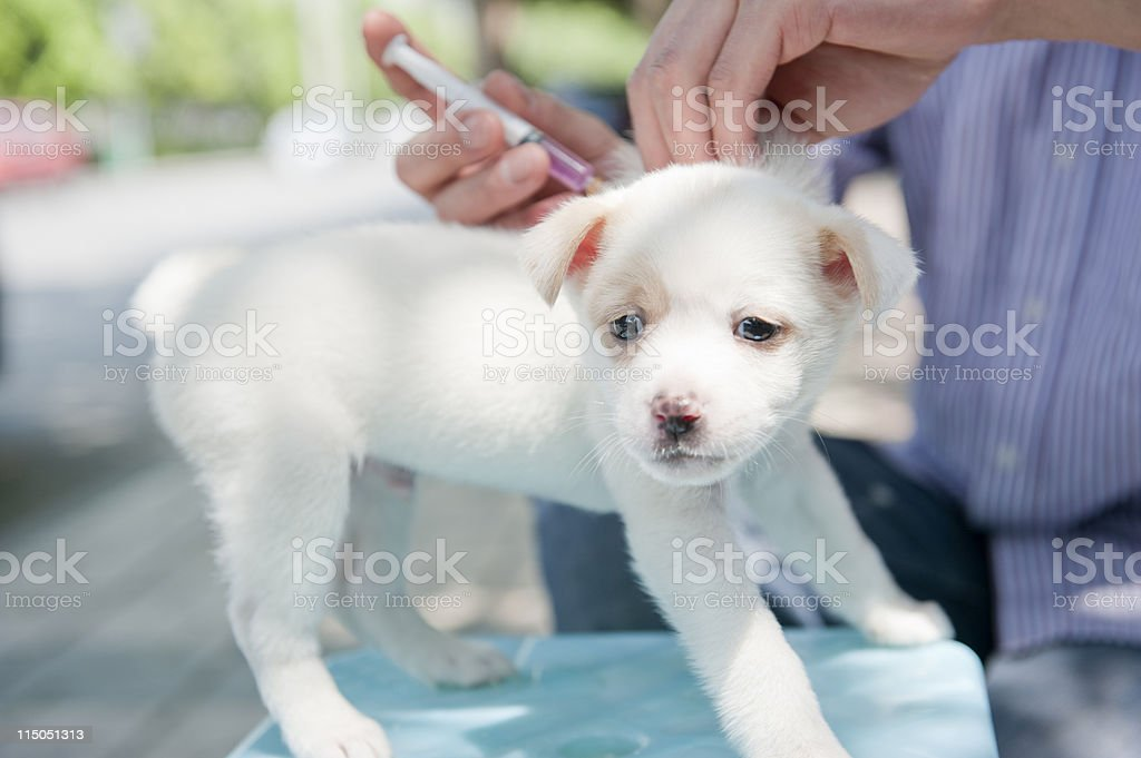dog Injection royalty-free stock photo