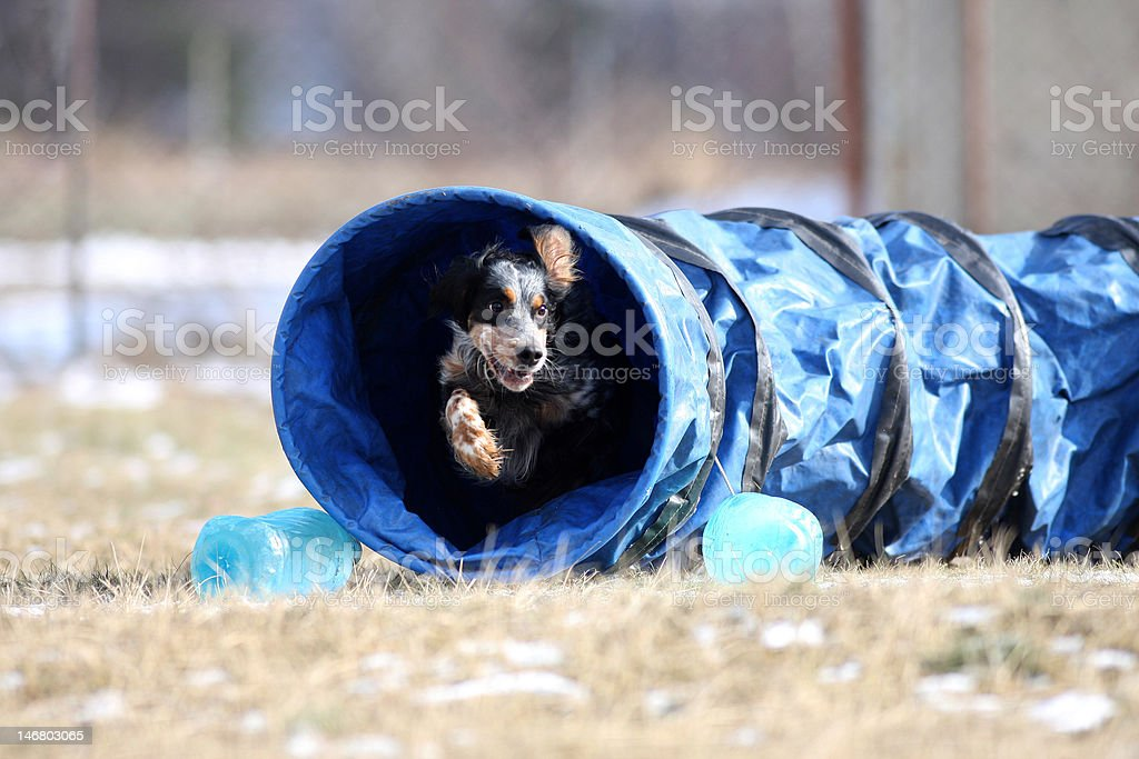 Dog is going through the tunnel. Its makes it happy! stock photo
