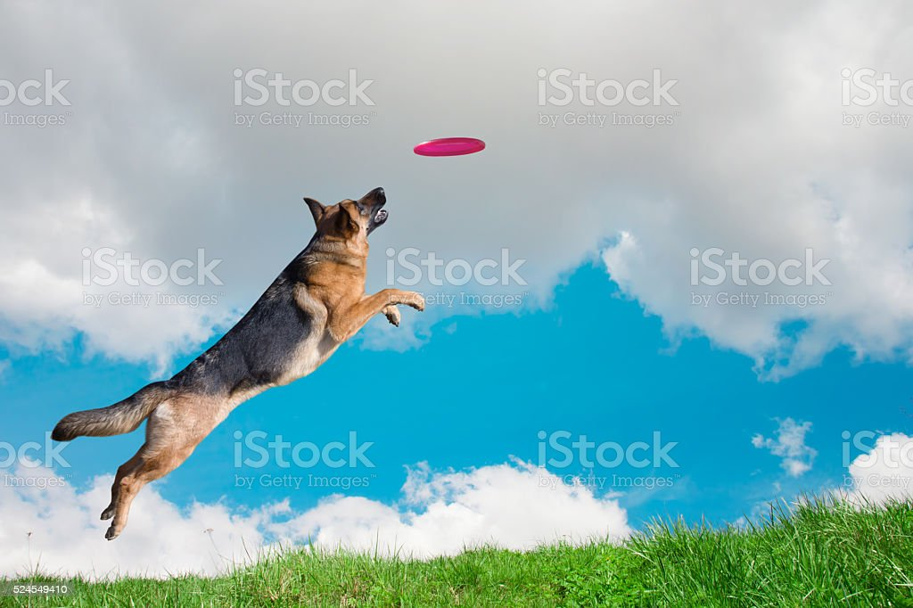 Dog is going to play disc in the sky stock photo