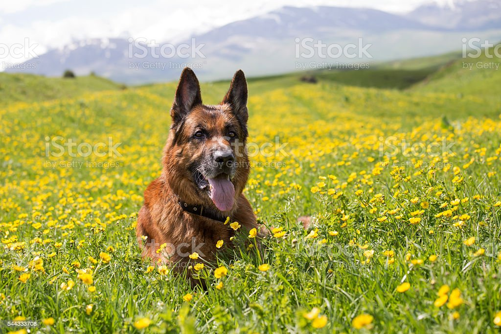 Dog is lying on a meadow in flowers stock photo