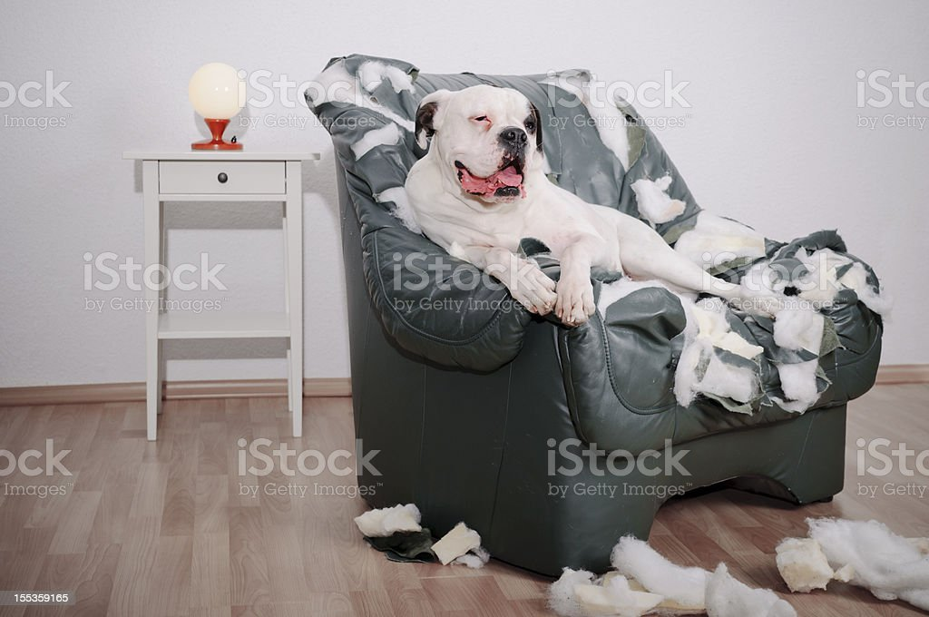 dog is on a leather chair stock photo