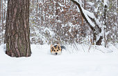 Dog is running on snow in the pine forest.