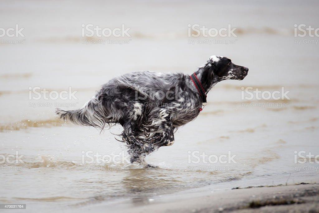Dog is running stock photo