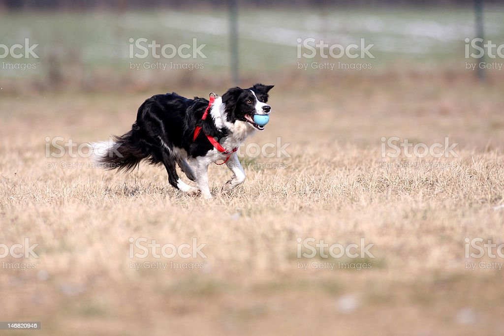 Dog is running with ball stock photo