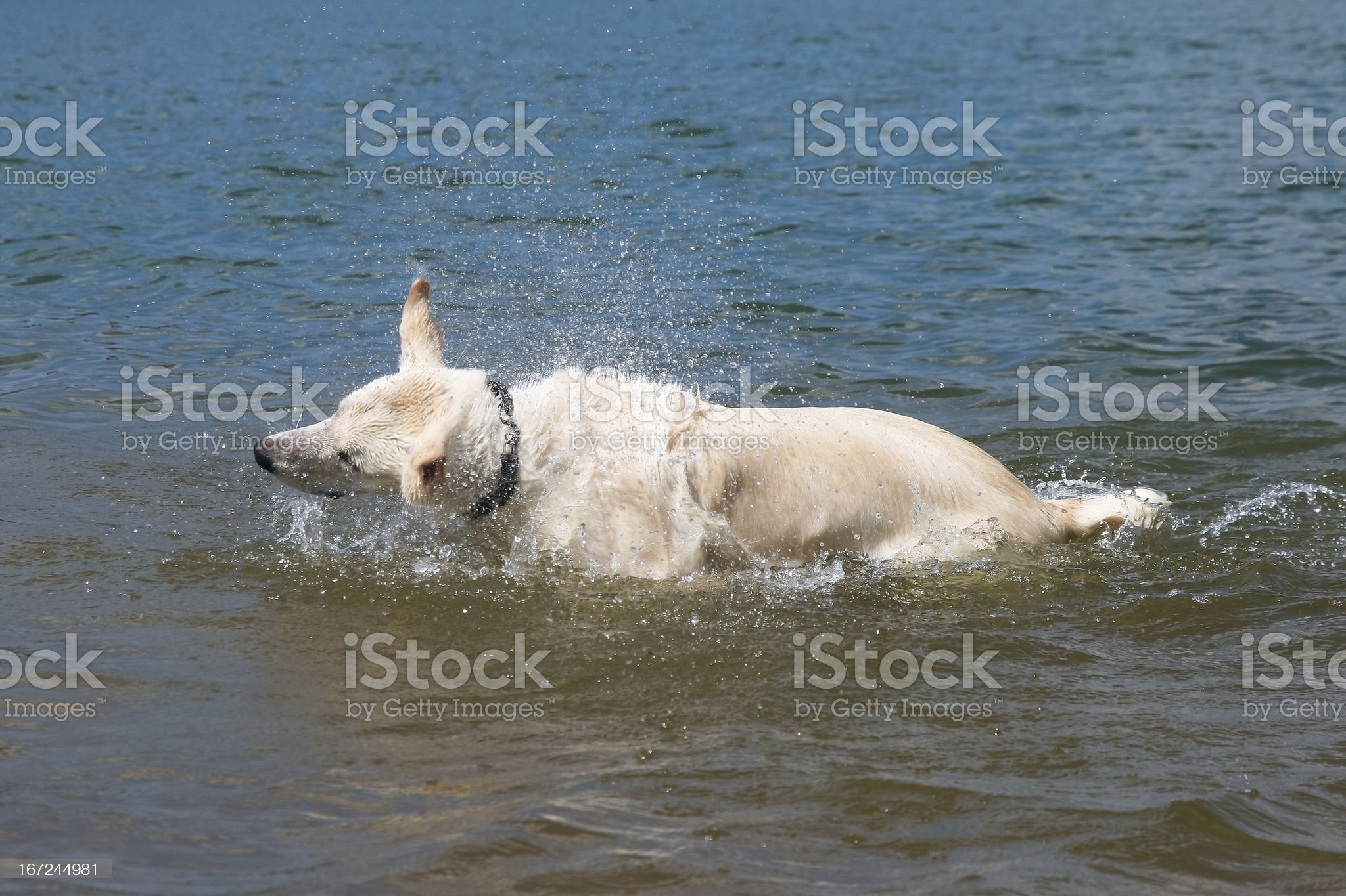 Dog is shaking royalty-free stock photo