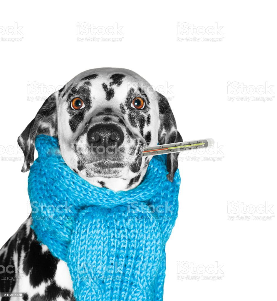 dog is sick, and measures the temperature stock photo