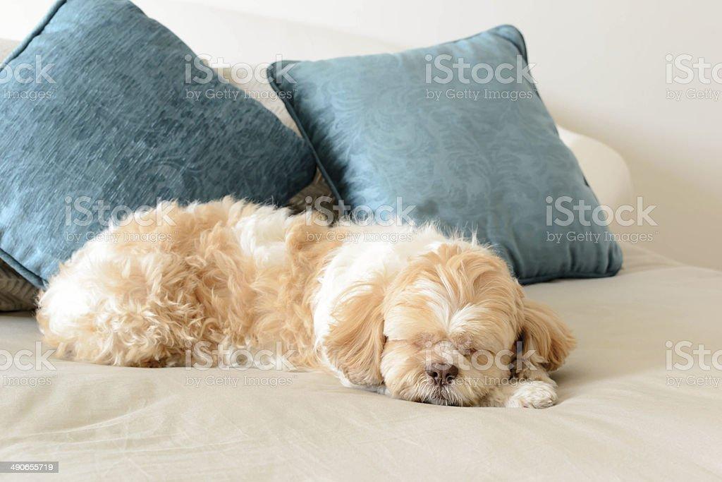 dog is sleeping on leather sofa stock photo