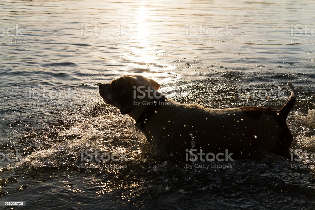 Dog is standing in the water stock photo