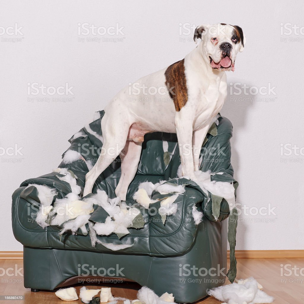 Dog is standing on destroyed chairs stock photo
