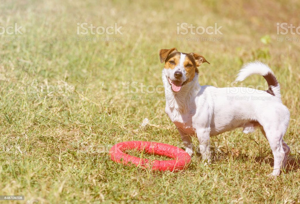 Dog is standing on grass and looking at the camera. stock photo