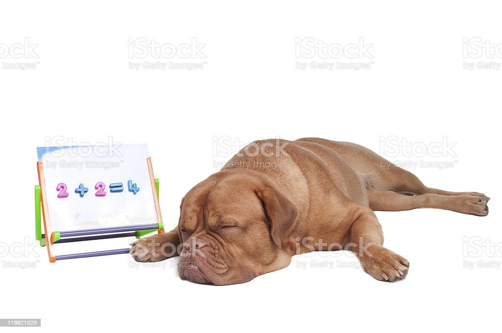 Dog is studying math royalty-free stock photo