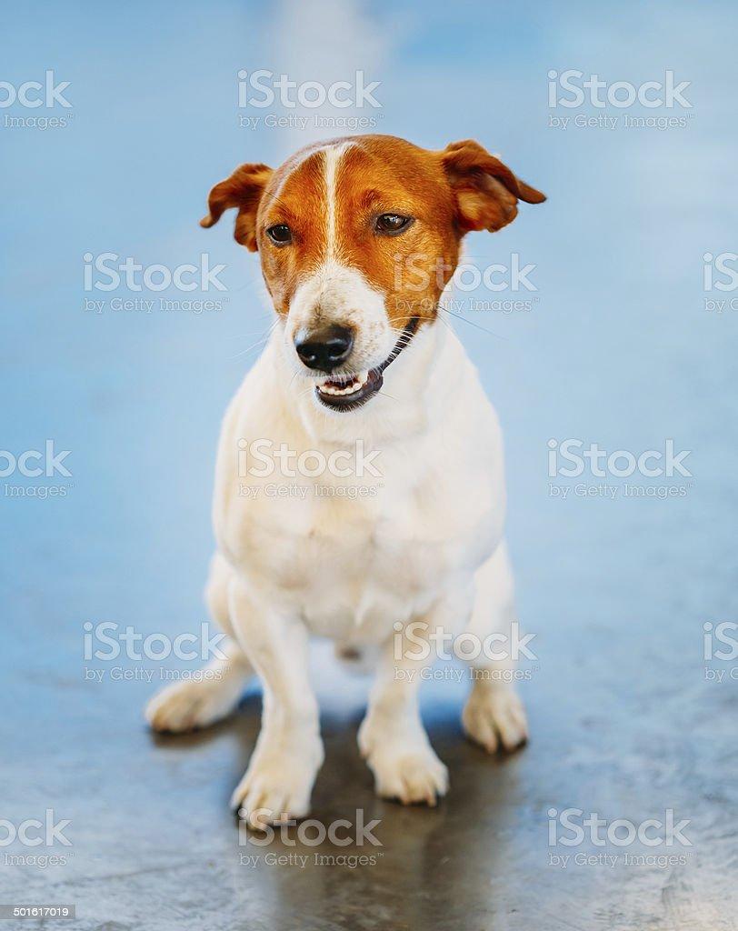 Dog jack russel terrier stock photo