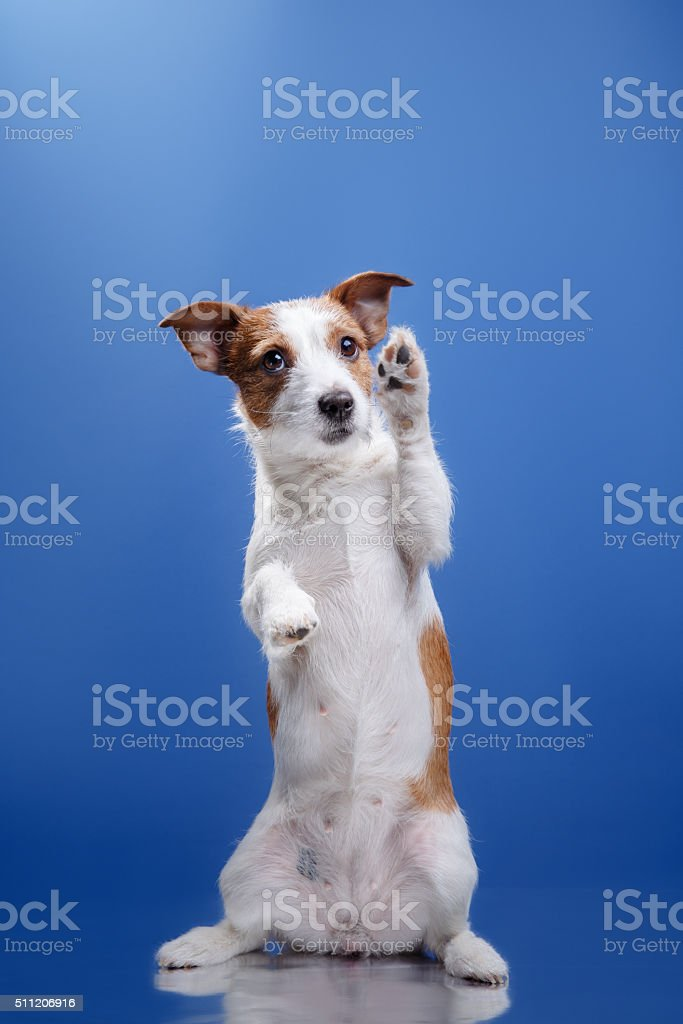 Dog Jack Russell stock photo