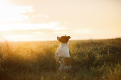 Dog Jack Russell terrier in a field at dawn