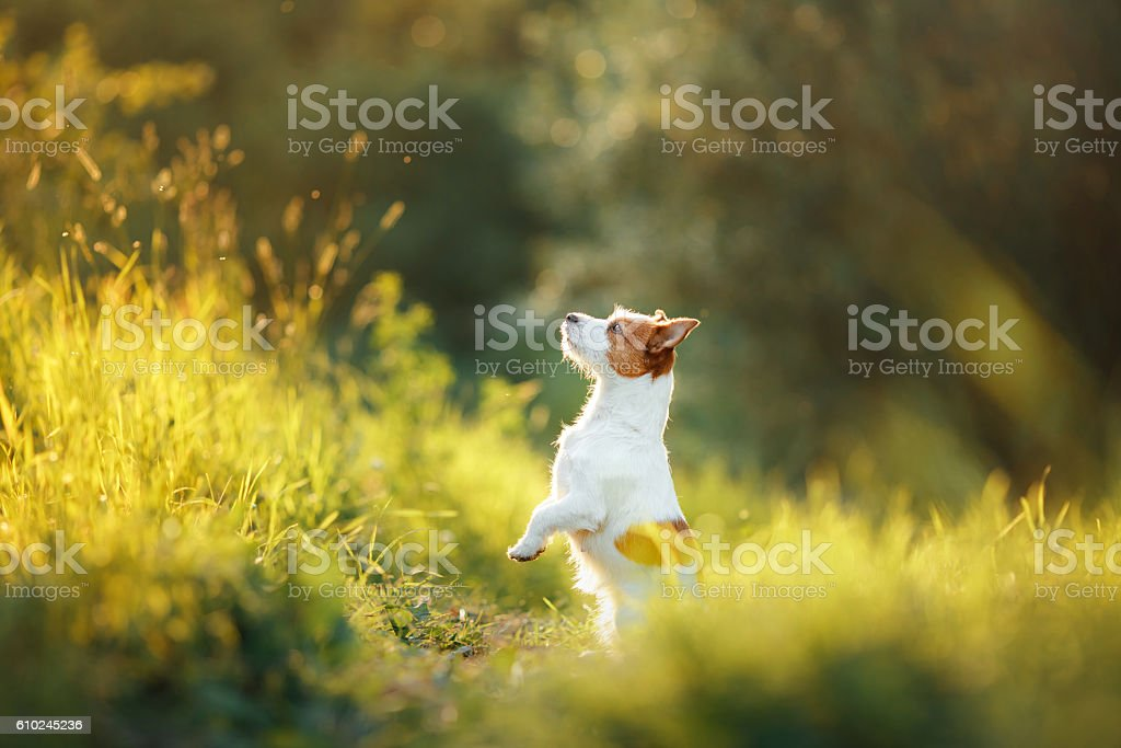 Dog Jack Russell Terrier in nature stock photo