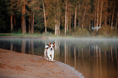Dog Jack Russell Terrier on the river bank