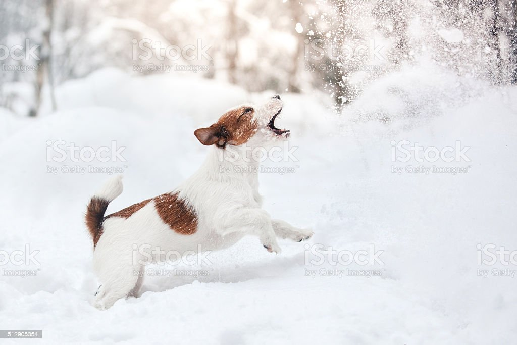 Dog Jack Russell Terrier playing in the snow stock photo