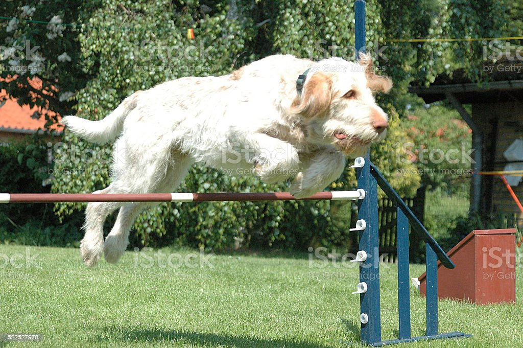 Dog Jump #3 stock photo