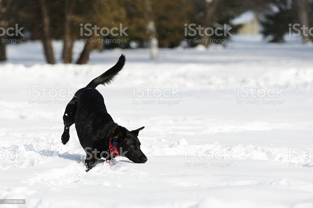 Dog Jumping in Deep Snow stock photo