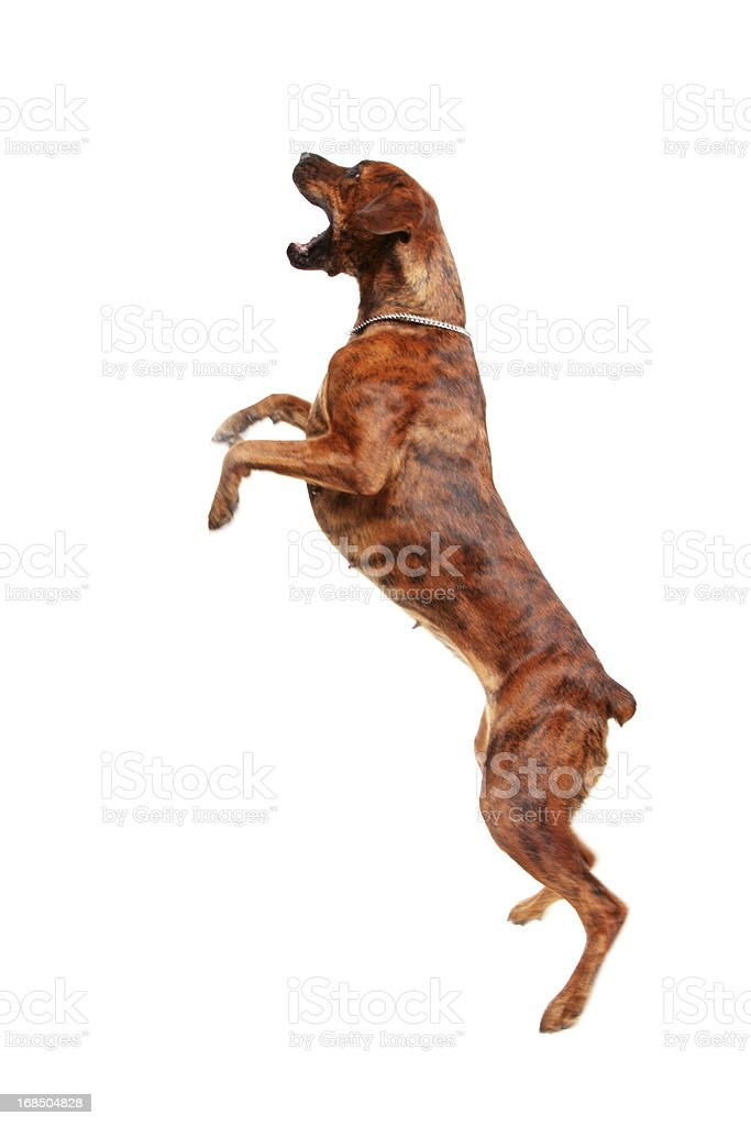Dog jumping in the air stock photo