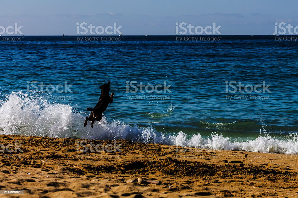 Dog jumping in the sea stock photo