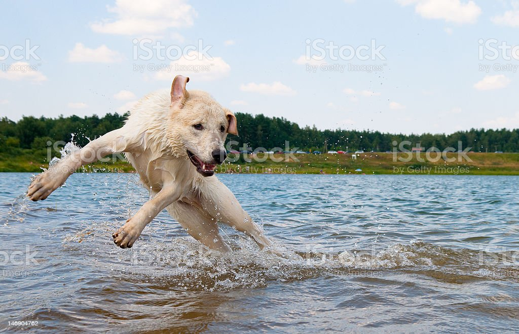 Dog jumping in the water royalty-free stock photo
