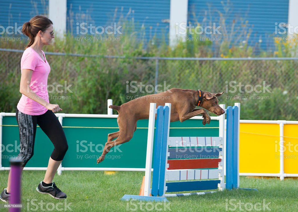 Dog jumping over obstacle in agility competition stock photo
