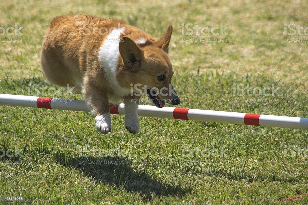 Dog Jumping royalty-free stock photo