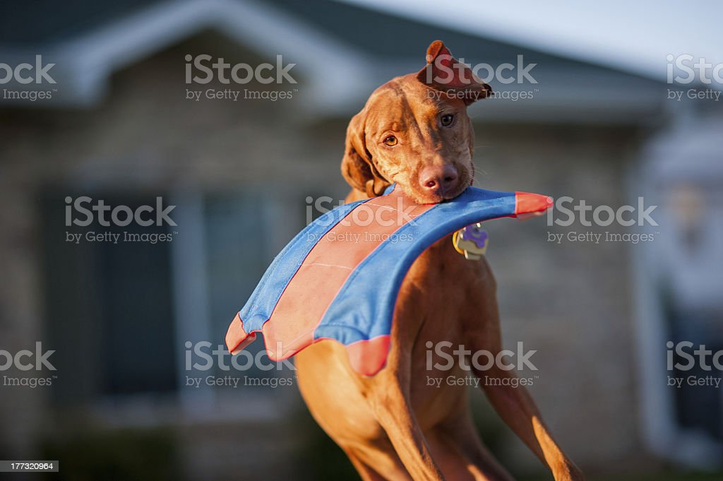 Dog Jumping to catch a toy stock photo