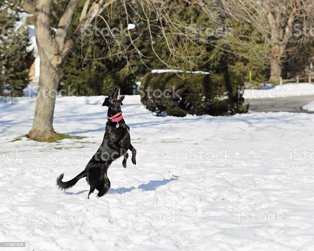 Dog Jumping to Catch Snow Ball stock photo