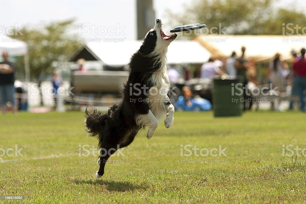 Dog Jumps And Opens Mouth To Catch Frisbee royalty-free stock photo