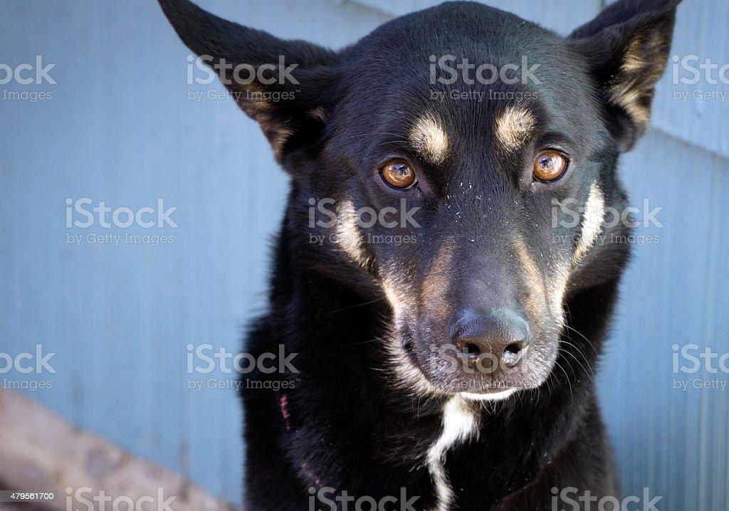 Dog: Kelpie stock photo