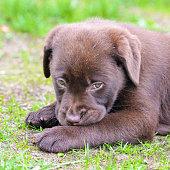 Dog labrador chocolate
