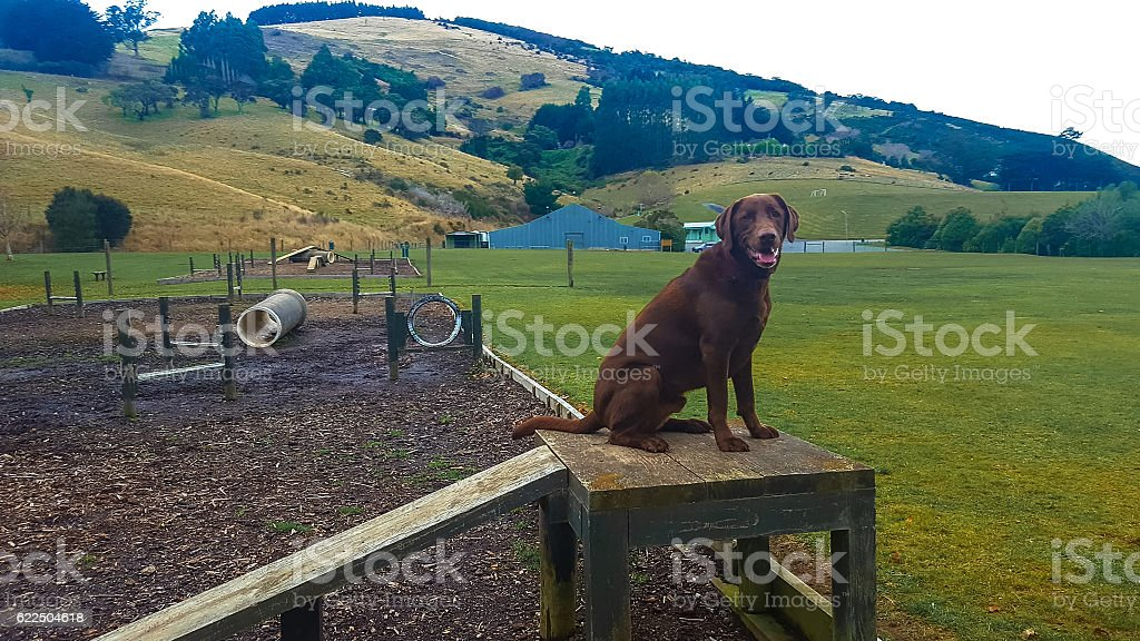 Dog labrador sittting on a agility course in a park royalty-free stock photo
