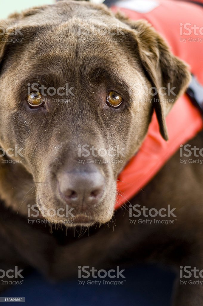 Dog Labrador wearing red life jacket aboard yacht royalty-free stock photo